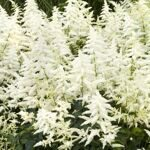 astilbe-vision-in-white-habit-931x559.jpg