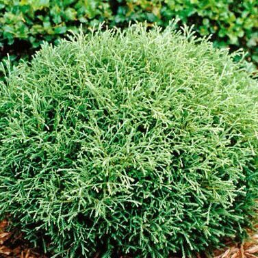 Туя западная Мистер Боулинг Болл (Thuja occidentalis Mr Bowling Ball)