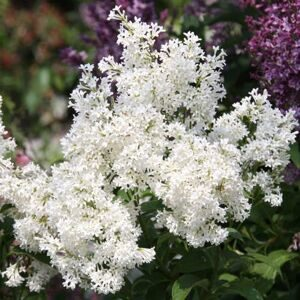 Сирень мохнатая Агнес Смит (Syringa villosa Agnes Smith)